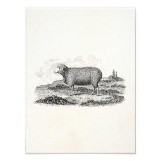 Vintage 1800s Merino Sheep Ewe Lamb Template Photo