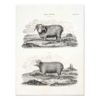 Vintage 1800s Merino Sheep Ewe Ram Lamb Template Photo Print