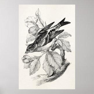 Vintage 1800s Old Mountain Finch Bird Illustration Poster