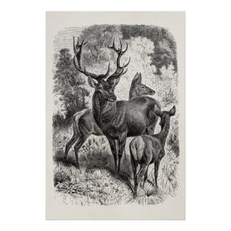 Vintage 1800s Red Deer Illustration Stag Doe Fawn Poster