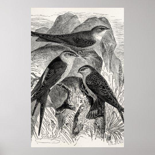 Vintage 1800s Red-Rumped Swallow Martin Bird Birds Poster