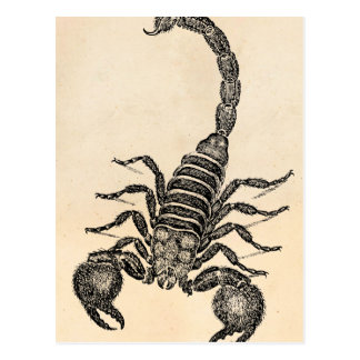 Vintage 1800s Scorpion Illustration - Scorpions Postcard