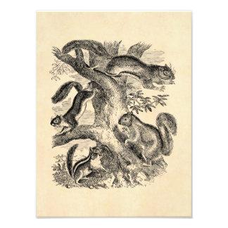 Vintage 1800s Squirrels Illustration - Squirrel Photo Print