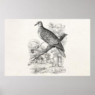 Vintage 1800s Turtle Dove Bird Doves Pigeon Birds Poster