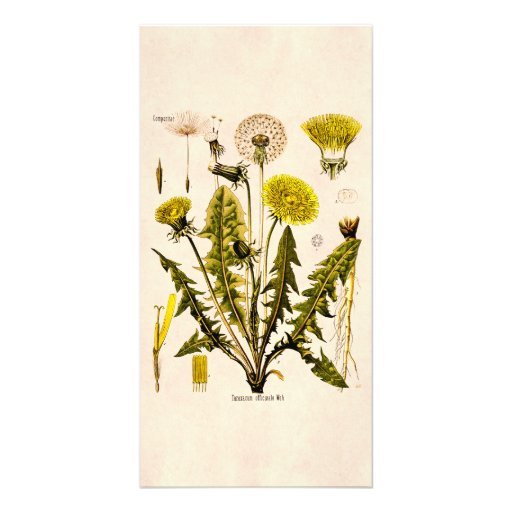 Vintage 1800s Yellow Dandelion Gone to Seed Floral Photo Card