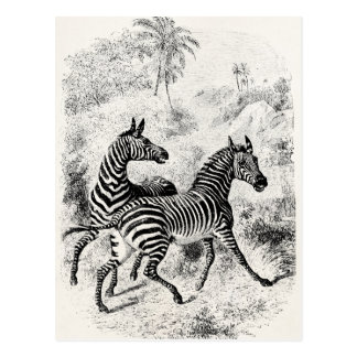 Vintage 1800s Zebras Retro Old Zebras Illustration Postcard