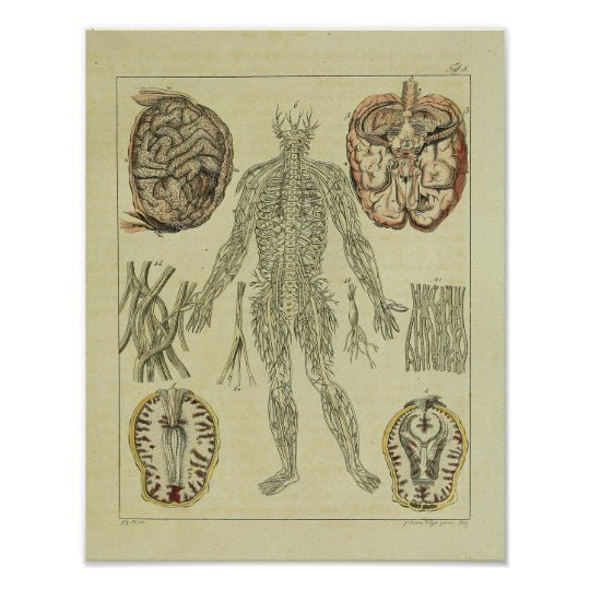 Vintage 1820 Nerves Brain Anatomy Art Print