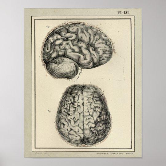 Vintage 1831 Brain Anatomy Print