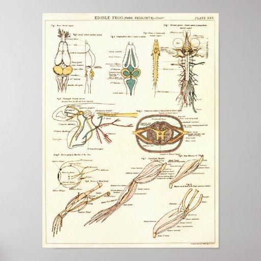Vintage 1881 Frog Biology Anatomy Print