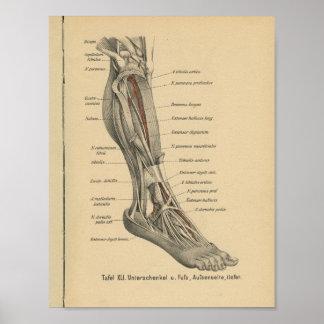 Vintage 1888 German Anatomy Print Leg Foot