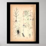 Vintage 1901 Nerve Neuron Anatomy Print