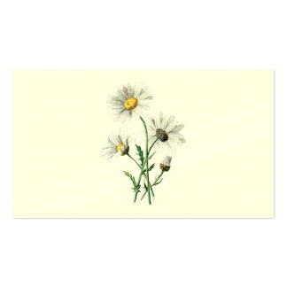 Vintage 1902 Daisies Old Wild Flower Illustration Pack Of Standard Business Cards