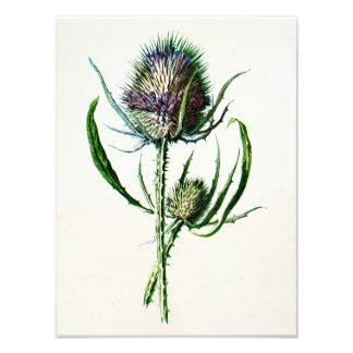 Vintage 1902 Old Scottish Thistle Wild Flower Photo