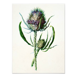 Vintage 1902 Old Scottish Thistle Wild Flower Photo Print