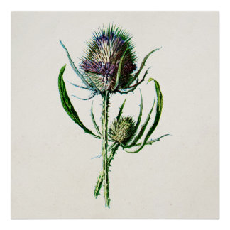 Vintage 1902 Old Scottish Thistle Wild Flower Poster