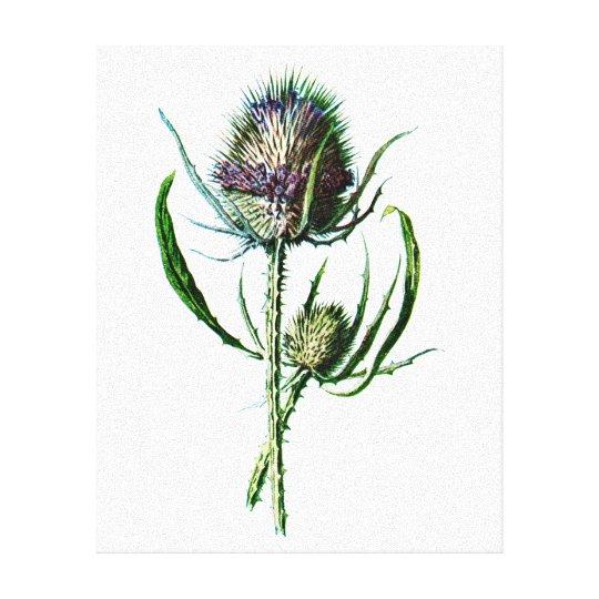 Vintage 1902 Scottish Thistle Antique Wild Flower Canvas
