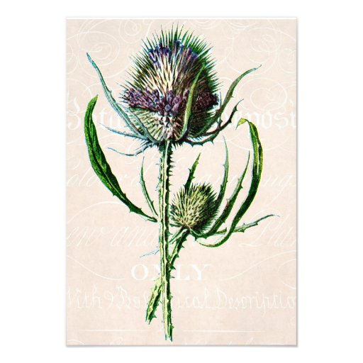 Vintage 1902 Scottish Thistle Old Wild Flower Invitation