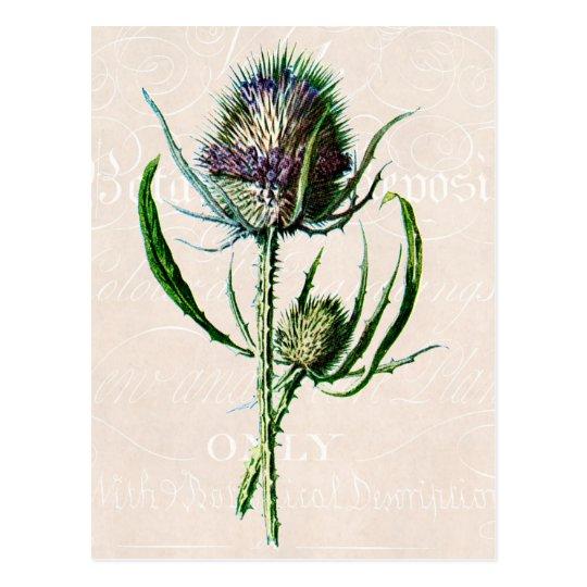 Vintage 1902 Scottish Thistle Old Wild Flower Postcard