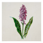 Vintage 1902 Spotted Orchid Wild Flower Orchids Poster