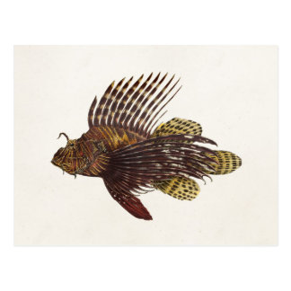 Vintage 1905 Lionfish Scorpionfish Retro Lion Fish Postcard
