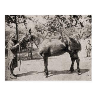 Vintage Algeria Horse and groom Postcard