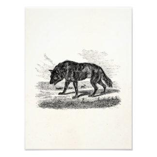 Vintage American Wolf 1800s Wolves Illustration Photo Art