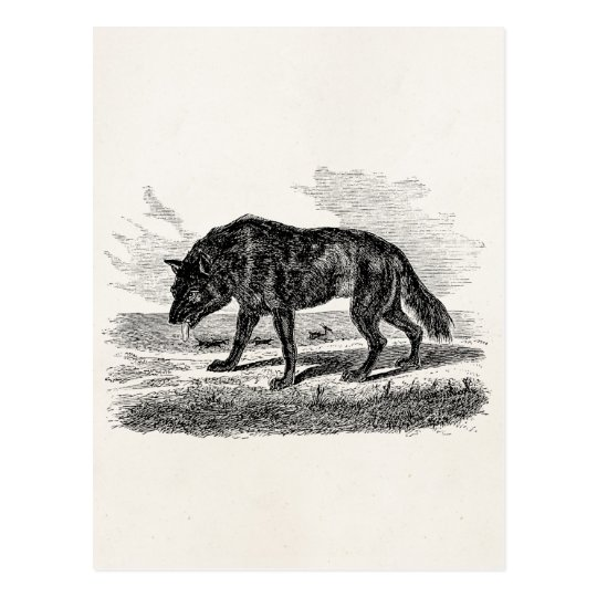 Vintage American Wolf 1800s Wolves Illustration Postcard