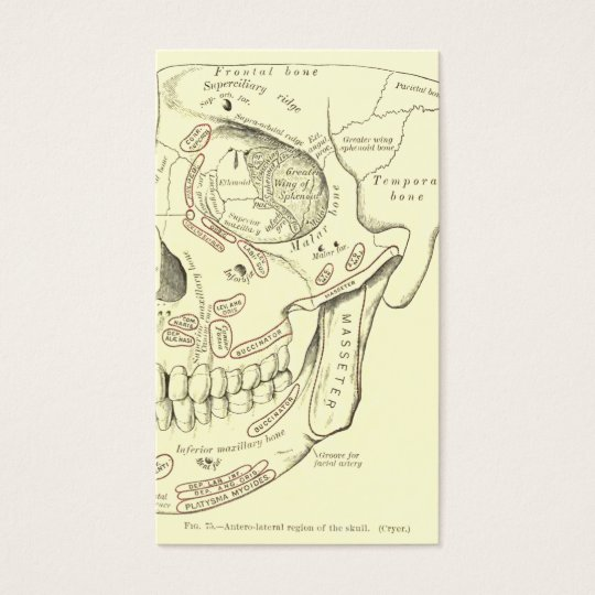 Vintage Anatomy Anterolateral region of the skull Business