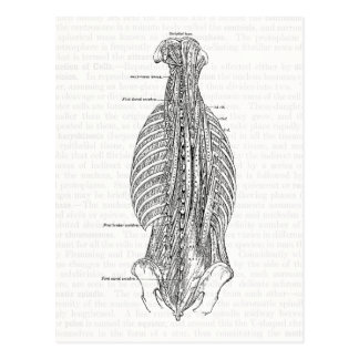 Vintage Anatomy Drawing The Back Postcard
