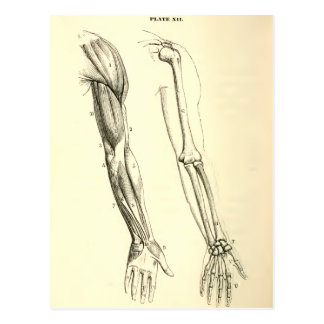 Vintage Anatomy | Muscles and Bones of the Arm Postcard