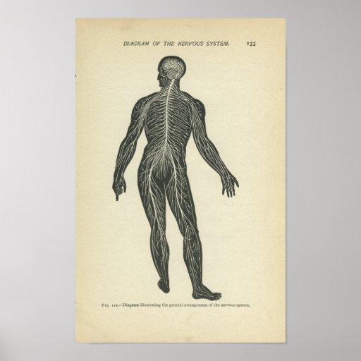 Vintage Anatomy Print Nervous System