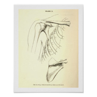 Vintage Anatomy | Scapula (circa 1852) Poster