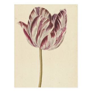 Vintage Art Postcard with a white & red tulip