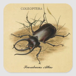 Vintage Art: Scarabaeus Atlas Beetle 1800 Square Sticker