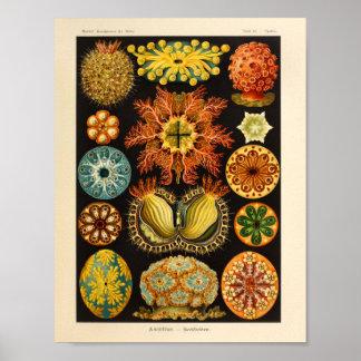 Vintage Ascidiae Color Ernst Haeckel Art Print