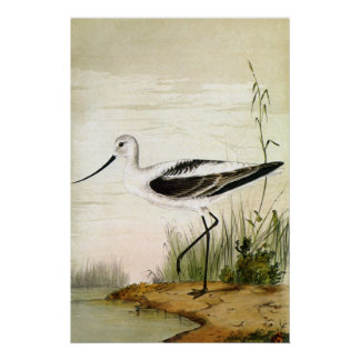 Vintage Avocet Birds, Marine Life Shorebirds Poster