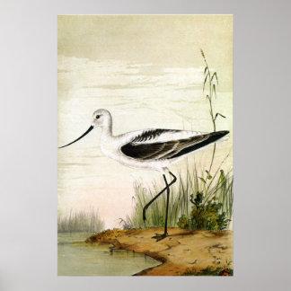 Vintage Avocet Birds, Marine Life Shorebirds Poster