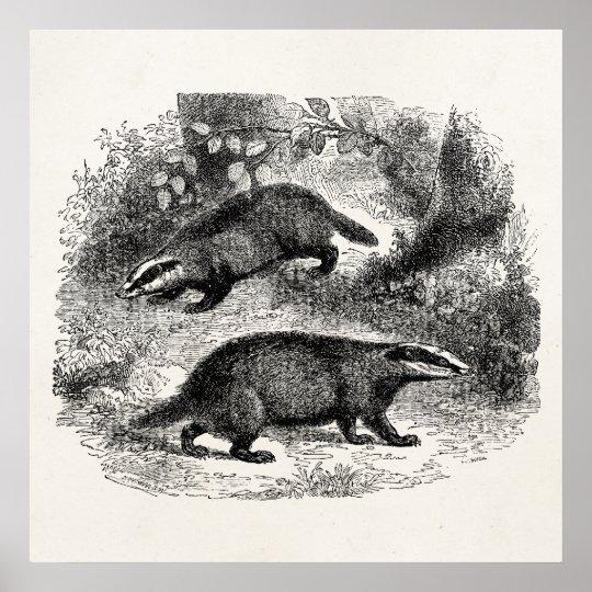 Vintage Badger 1800s Badgers Illustration Poster