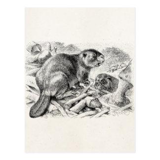 Vintage Beaver Illustration Retro Beavers and Dam Postcard