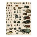 Vintage Beetle Illustration Postcards