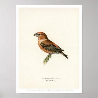 Vintage Bird Illustration - Parrot Crossbill Poster
