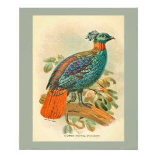 Vintage Birds Colorful Pheasant Illustration Art Photo