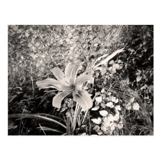 Vintage Black And White Tiger Lily Flower Postcard
