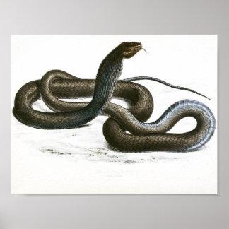 Vintage Black King Cobra Art Poster