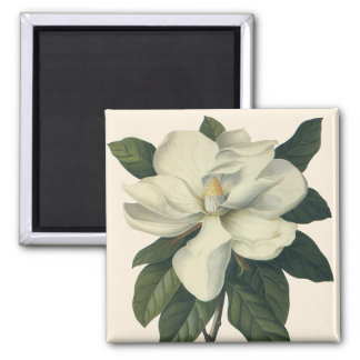Vintage Blooming White Magnolia Blossom Flowers Square Magnet