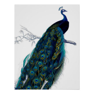 Vintage Blue Elegant Colorful Peacock Poster