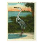 Vintage Blue Heron Florida Postcard