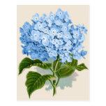 Vintage Blue Hydrangea Postcard