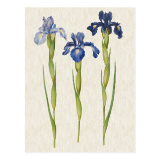 Vintage Botanical Blue Iris Illustration Postcard