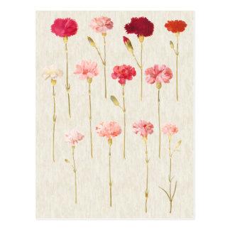 Vintage Botanical Carnations Illustration Postcard